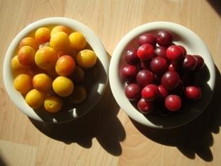 mirabelles_jaune,rouge.JPG